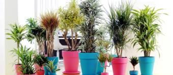 pianta di dracena