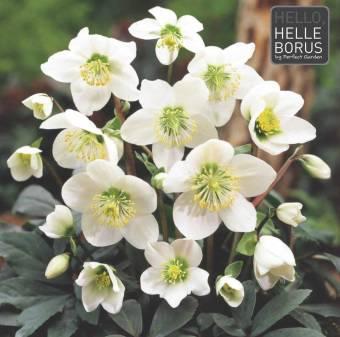 Pianta di HELLEBORUS bianco