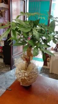 pianta sembre verde