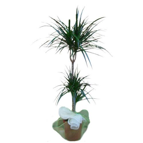 pianta da appartamento