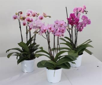 Phalaenopsis bianco