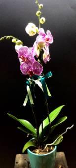 Pianta di Phaleonopsis a 2 steli