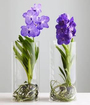 vanda in vaso