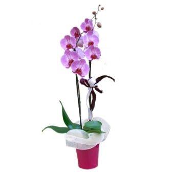 Orchidea phaleonopsis