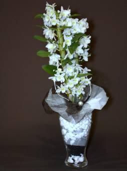 dendrobium bianco