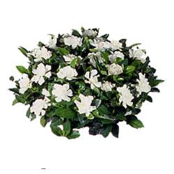 gardenia .....ortensie bianche,rosa,viola,azzurre..anturium rossi,rosa e bianchi..