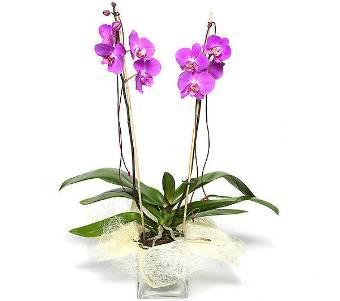 Elegante Phalaenopsis