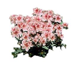 L 39 ortensia di teglia d consegna fiori bologna - Azalee da esterno ...