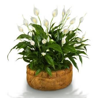 SPATHIPHYLLUM alto 120 cm (senza vaso). Per avere il vaso telefonare in fioreria.