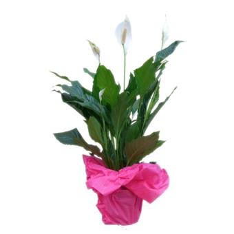 piante fiorite diverse varieta':spatifillium,anturium,ciclamimini,azalee,orchidee ecc.