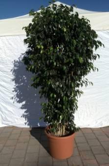 Ficus h200