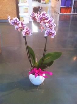 pianta di ORCHIDEA