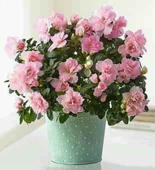 Azalea - Casa del fiore di Gastaldello Michele - Consegna fiori in Italia