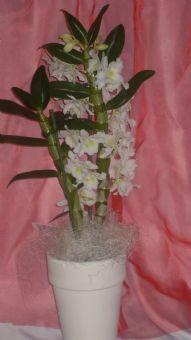 pianta di dendrobium