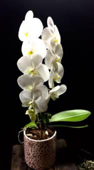 Pianta di Phaleonopsis con vaso