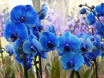orchidea blue