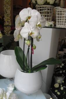 Pianta di orchidea phaleonopsis