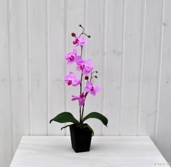 vaso Orchidea Phalaenopsis Rosa in confezione regalo