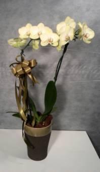 Orchidea a due steli con vaso in ceramica