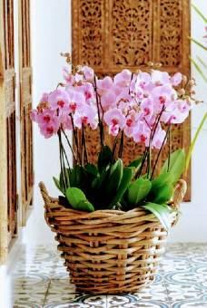 Cesto di 4 piante orchidee in midollino