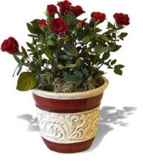 pianta di rose