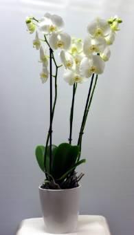 Phalaenopsis bianca con vaso