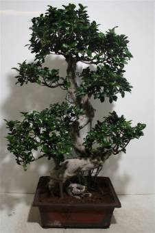 BONSAI Ficus Ginseng GIGANTE alto 90/120 cm con vaso ceramicato