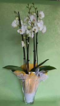 Phaleonopsis grande con vaso vetro