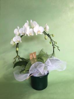 Phaleonopsis 2rami arco