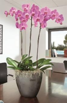 Soria fiori consegna fiori napoli for Vaso orchidea
