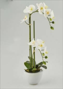 phalaenopsis in vaso