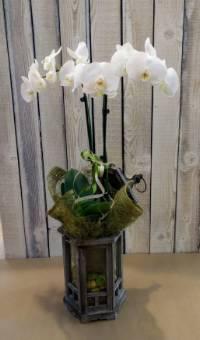 Pianta orchidea su lanterna in legno