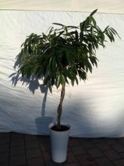 Ficus Ali intrecciato