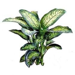 dieffenbachia (foto) croton, amaranta e altre piante verdi