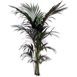 kenthia a tre piante