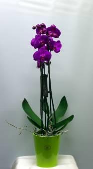 Phalaenopsis colorata con vaso