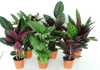 piante di maranta