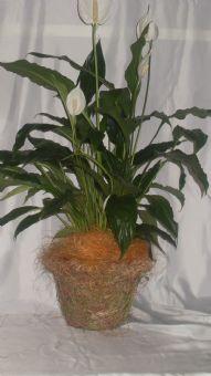sphatyphyllium con cesto
