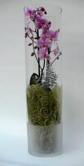 phalaenopsis in vetro