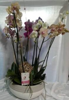 pianta phalenopsis