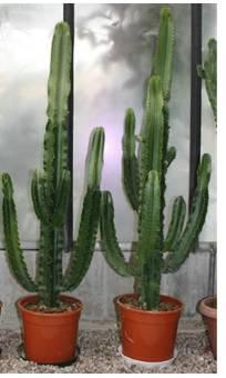 Cactus Forever