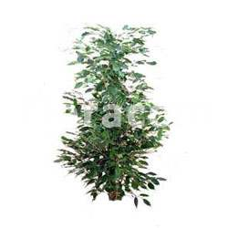 Ficus beniamina