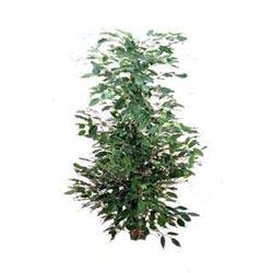 Ficus Benjamin variegato